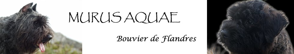 Bouvier de Flandres MURUS AQUAE