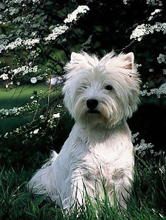 perro de raza west highland white terrier