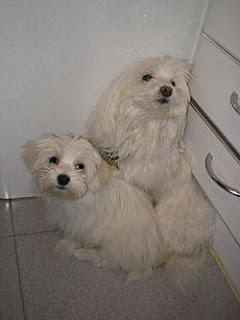 bichon maltes razas de perros