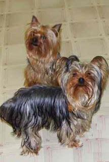 yorkshire terrier razas perros
