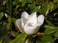 Cheche; Magnolia 22/02/09