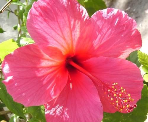 Hawaiian flowers pictures