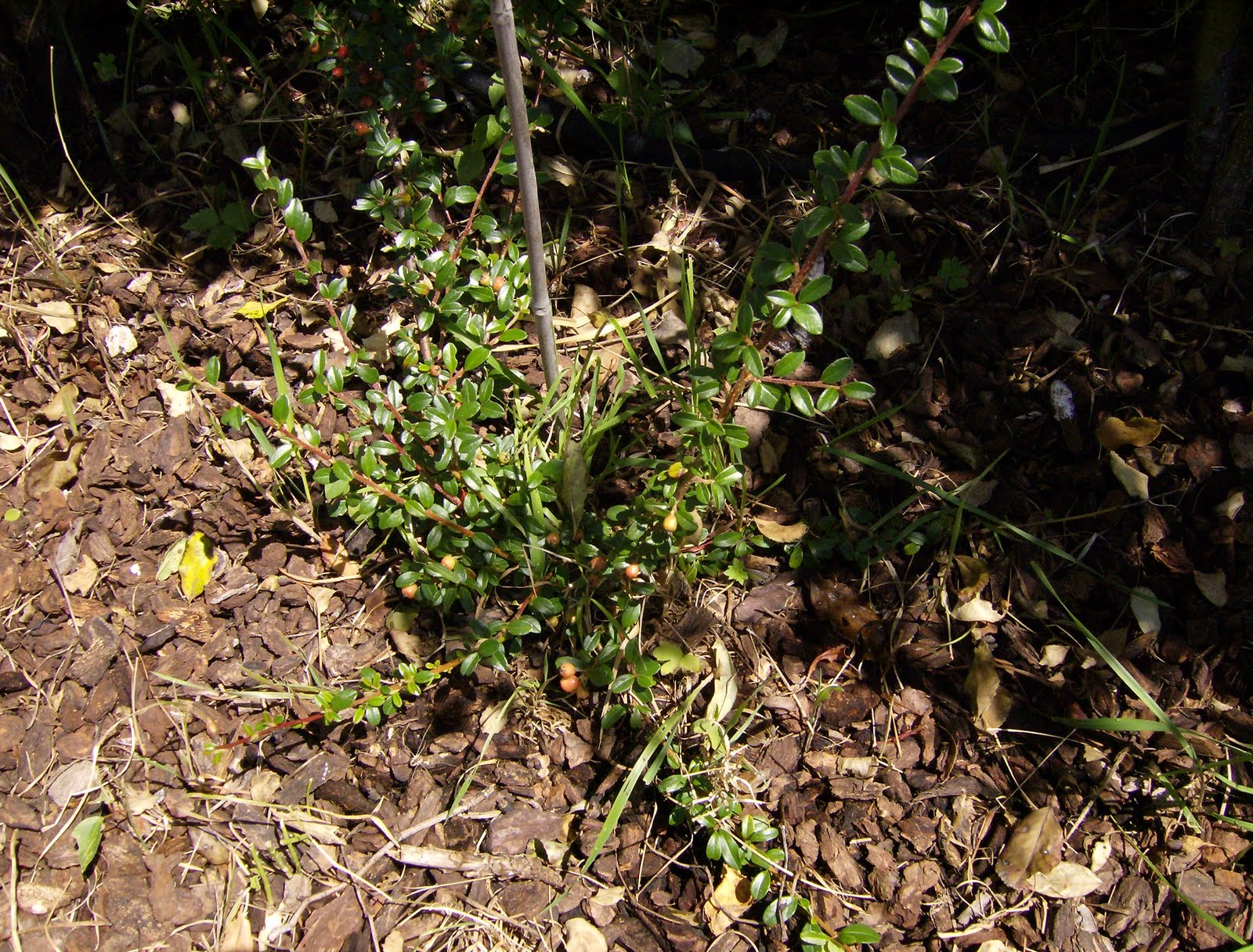North coast gardening blog weeding flower beds of grass for Grasses for flower beds