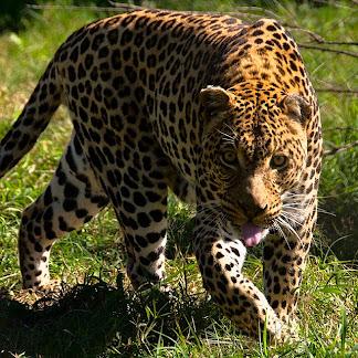 Leopard in Moholoholo Wildlife Rehabilitation Centre, Limpopo Province, South Africa © Matt Prater