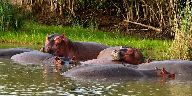 Hippos, iSimangaliso Wetland Park, South Africa © Matt Prater