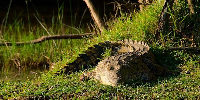 Nile crocodile, iSimangaliso Wetland Park, South Africa © Matt Prater