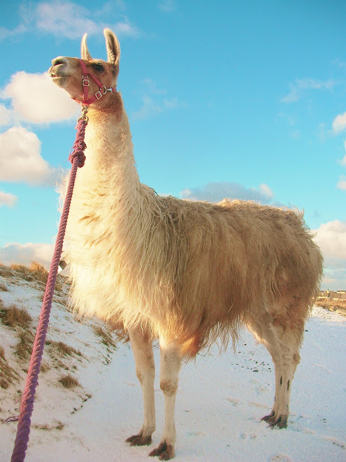 Llamas are proud, friendly and easy going and a pleasure to walk with.