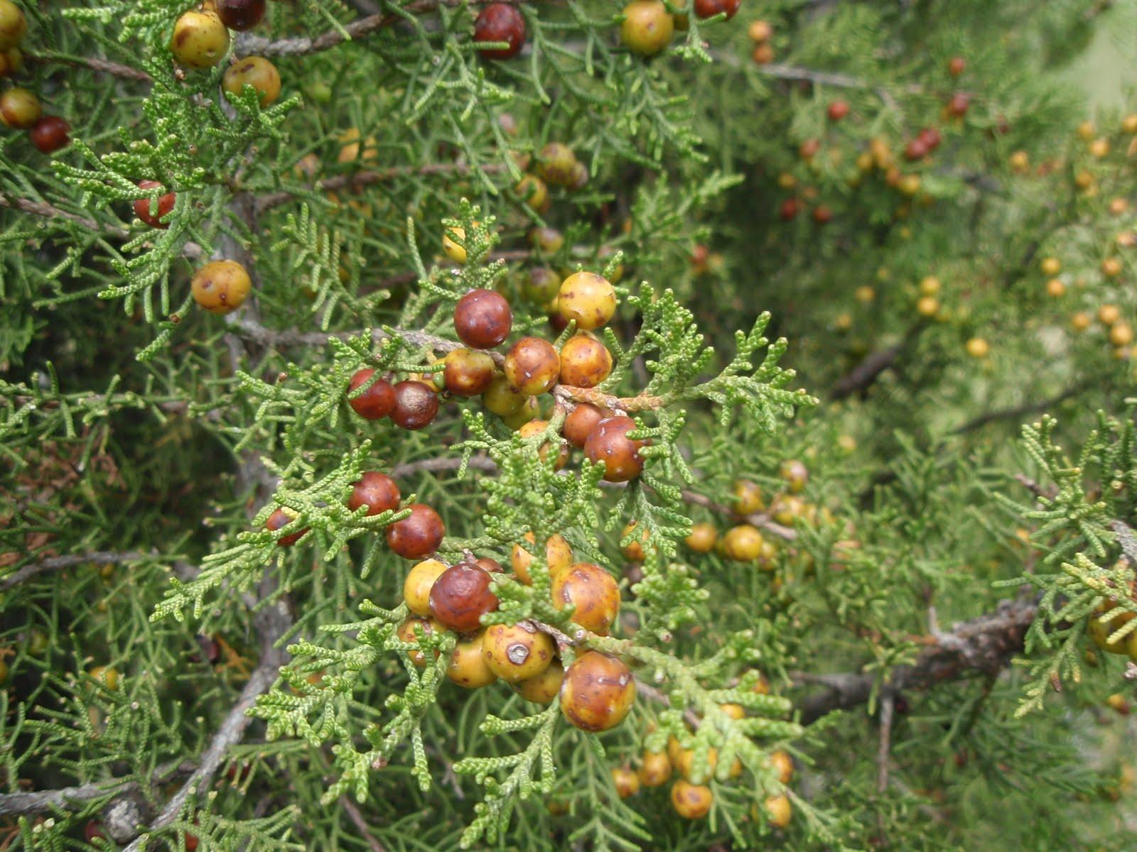 Repoblaci n aut ctona enebros y sabinas principal for Tipos de arboles y caracteristicas