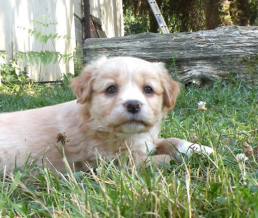 Speagle Puppies for Sale: Speagle Puppies
