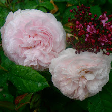 Roses et roses anciennes du jardin