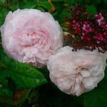 Roses et roses anciennes du jardin