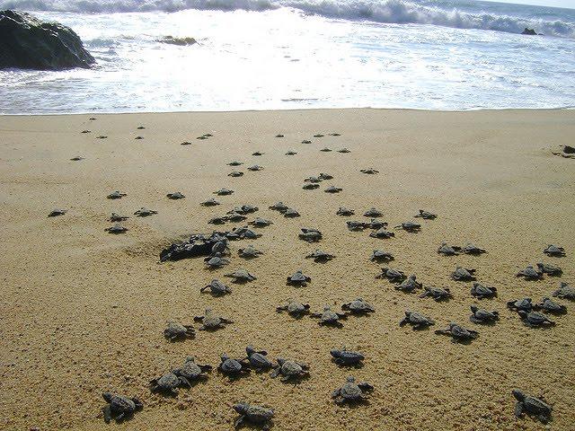 Liberación de la tortuga golfina