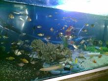 ikan bisa d campur2