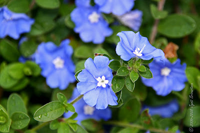 Blue Flower (blue Daze, Hawaiian Blue Eyes) With Bee Stock Photo ...