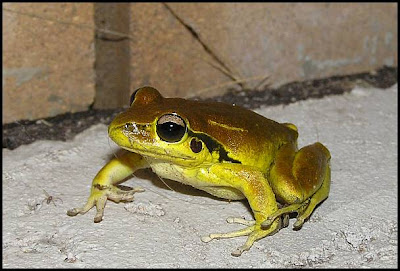 hunter valley backyard nature 51 a summary of my backyard frogs