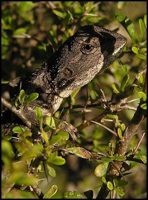 Eastern bearded dragon lizard Pogona barbatus juvenile