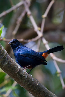 An Indian Black Robin perched on a branch, photographed in Sri Lanka