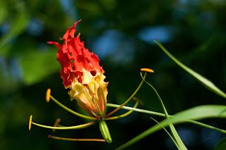 The Flame Lily (Gloriosa superba) or Niyagala photographed in Anuradhapura