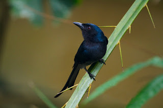 A White bellied Drongo photographed in Colombo, Sri Lanka