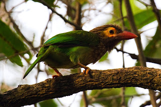 A Brown Headed Barbet, also called the Large Green Barbet, photographed in Colombo, Sri Lanka