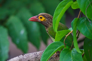 A Brown Headed Barbet, also called Large Green Barbet, photographed in Colombo, Sri Lanka