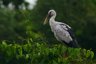 An Asian Openbill photographed in Anuradhapura, Sri Lanka
