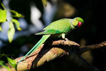 #5 Parakeet Wallpaper