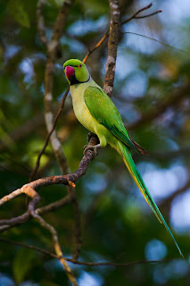 A Rose ringed Parakeet photographed in Colombo, Sri Lanka