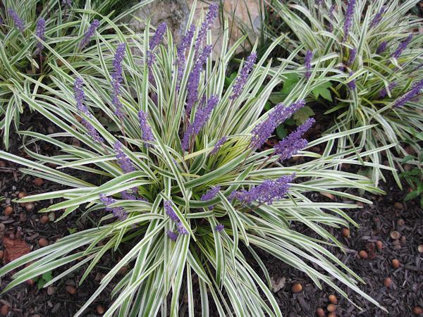 A GUIDE TO NORTHEASTERN GARDENING: Perennials on perennial grasses shade zone 6, perennial vines zone 6, perennial herb garden zone 6,
