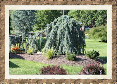 Blue Atlas Cedar Landscape Weeping Blue Atlas Cedar