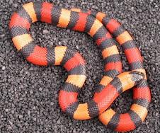 Campbelli Milk Snake