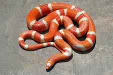 Tangerine Albino Hondurensis