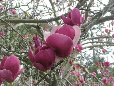 magnolia tree tattoo. tulip magnolia tree pictures.