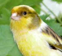 http://4.bp.blogspot.com/_zPqm81SAE7o/RzYQWJBvKmI/AAAAAAAAAPU/8PuORTewstc/s200/canario.jpg