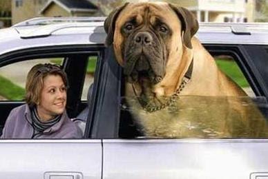 A Dog in Car Window