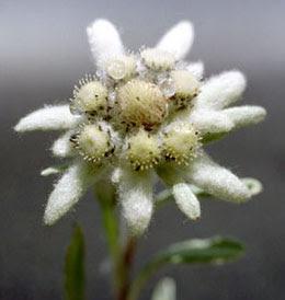 Bunga Edelweiss, Lambang Cinta yang Abadi