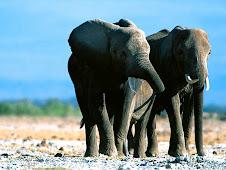 Los elefantes no olvidan ni perdonan. Comen pasas.