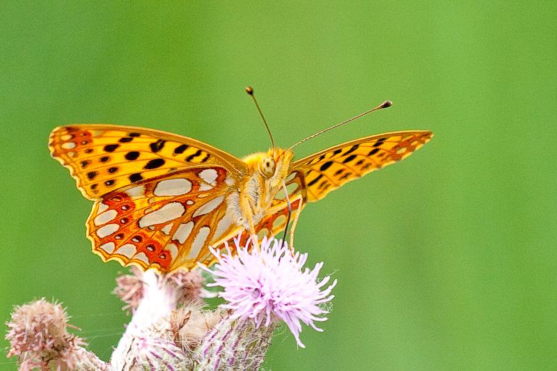 butterfly wallpapers. Butterfly Wallpapers