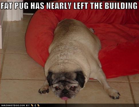 Fat Cute Pugs Fat Pug Fat Dog Cute Dogs