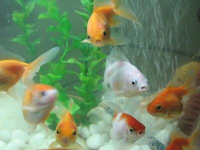 Welonki ryby akwariowe nie lubią się