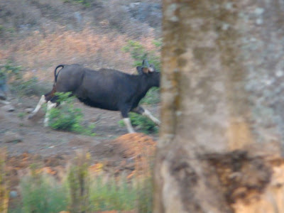 Indian Gaur
