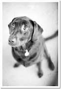 Here's a gorgeous picture of our Chocolate Labrador, Hazel Mae [she's got . (hazelmaeturner ll)