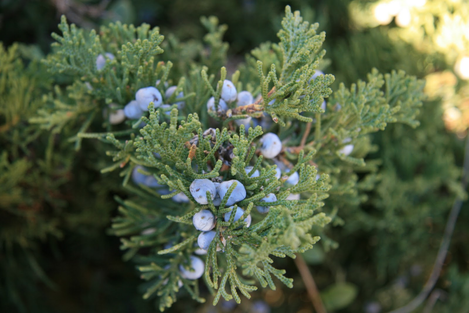 Gardening and gardens juniper berries for The juniper