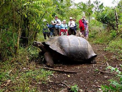 Tortugas gigantes en las islas Galapagos