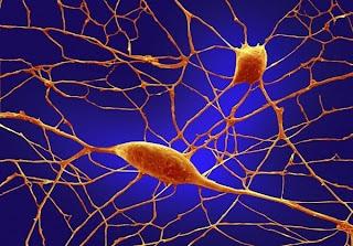 Neuronas o celulas de Purkinje