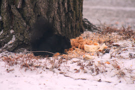Black squirrell