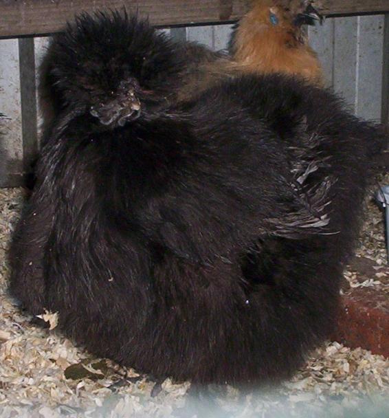 Perbezaan Ayam SELASIH Dan Ayam SUTERA (Silkie)
