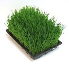 Wheatgrass Juice is one of the best sources of living chlorophyll available