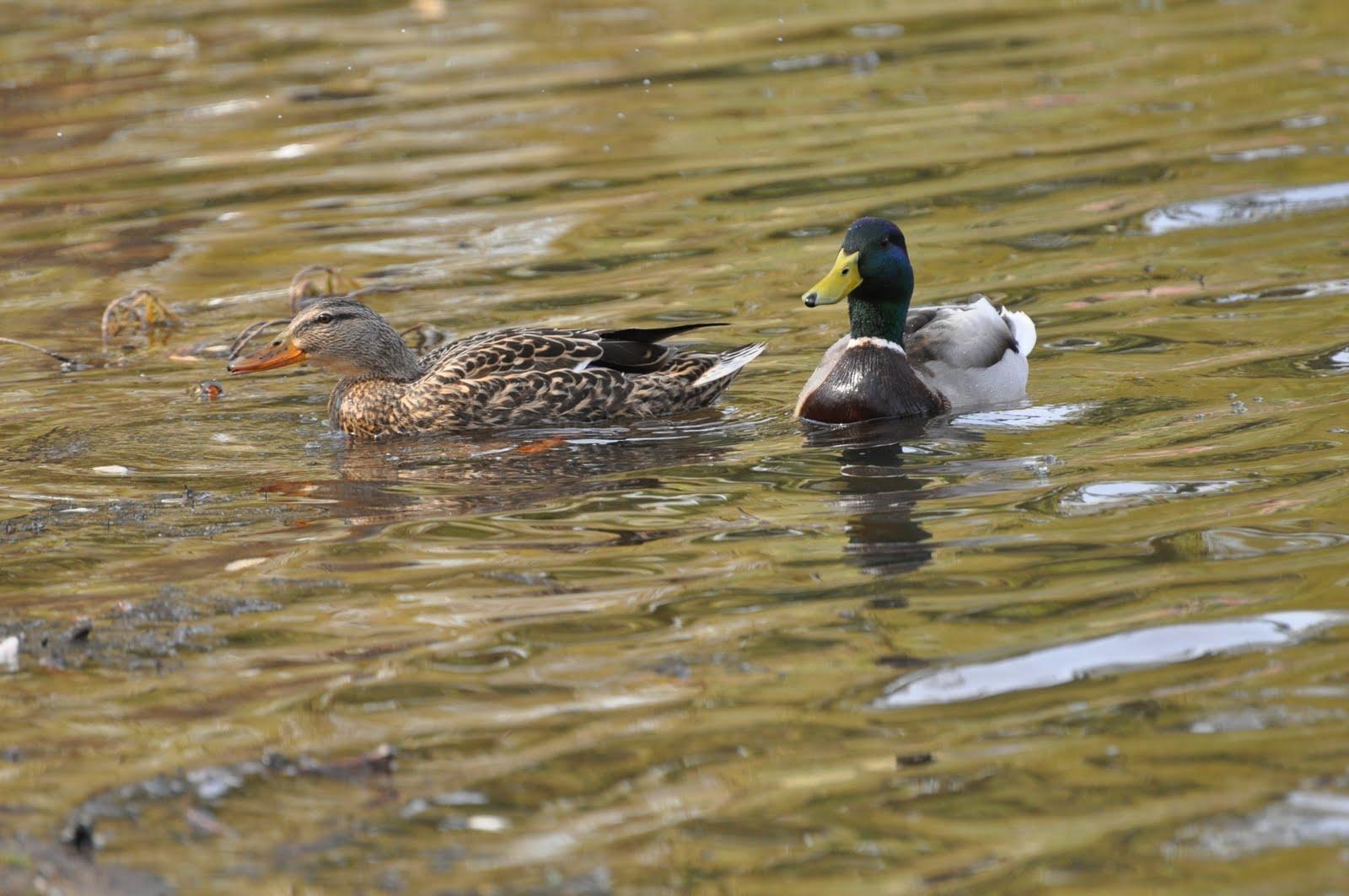 C & A Update: Duck Pond- Central Park