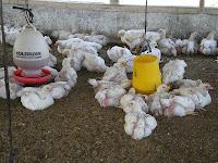Peluang Usaha Peternakan Ayam Pedaging